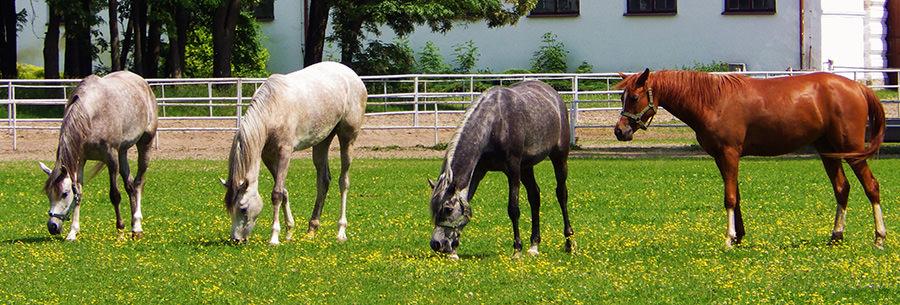Konie w Janowie Podlaskim